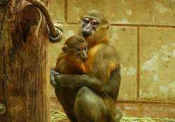 Aranyhasú mangábé született az Állatkertben