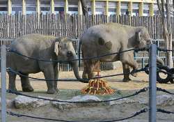 Állatkert: hamarosan testvére születik a most négyéves kiselefántnak, Ashának