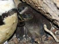 Pingvinfiókák és népszámlálás az Állatkertben